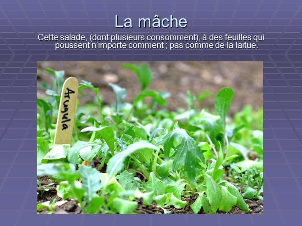 La mâche Cette salade, (dont plusieurs consomment), à des feuilles qui poussent n'importe comment ; pas comme de la laitue.