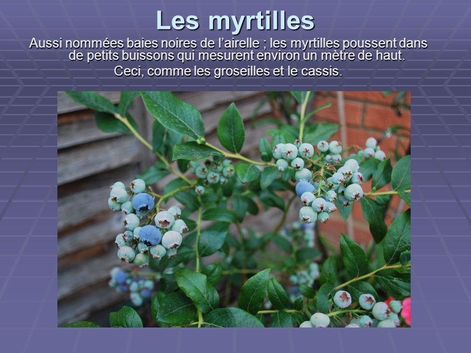 Les myrtilles Aussi nommées baies noires de l'airelle ; les myrtilles poussent dans de petits buissons qui mesurent environ un mètre de haut.
