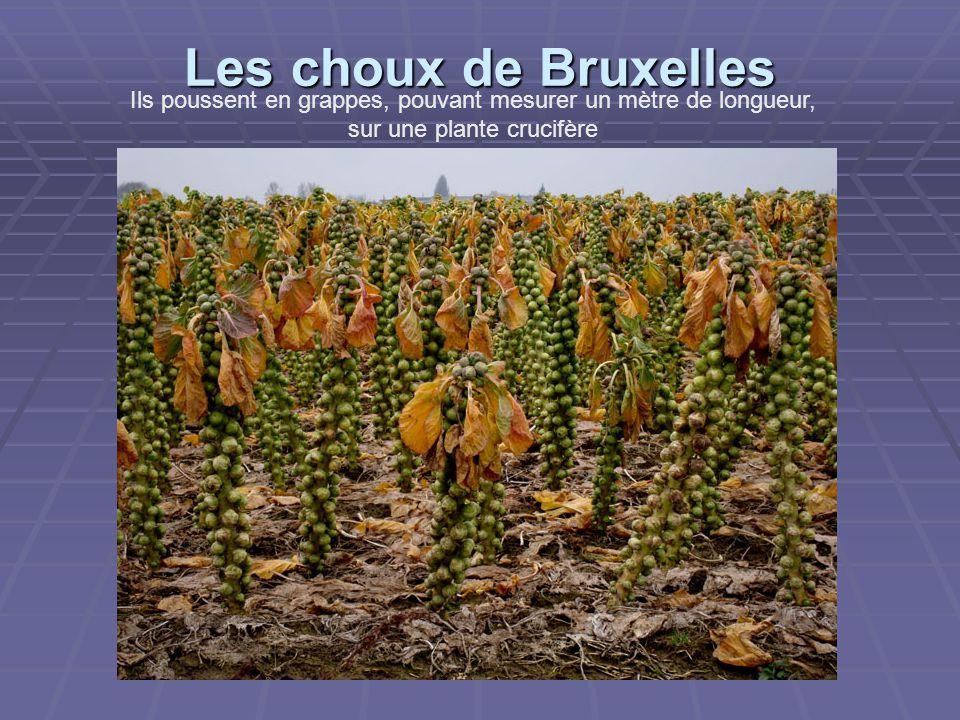 Les choux de Bruxelles Ils poussent en grappes, pouvant mesurer un mètre de longueur, sur une plante crucifère