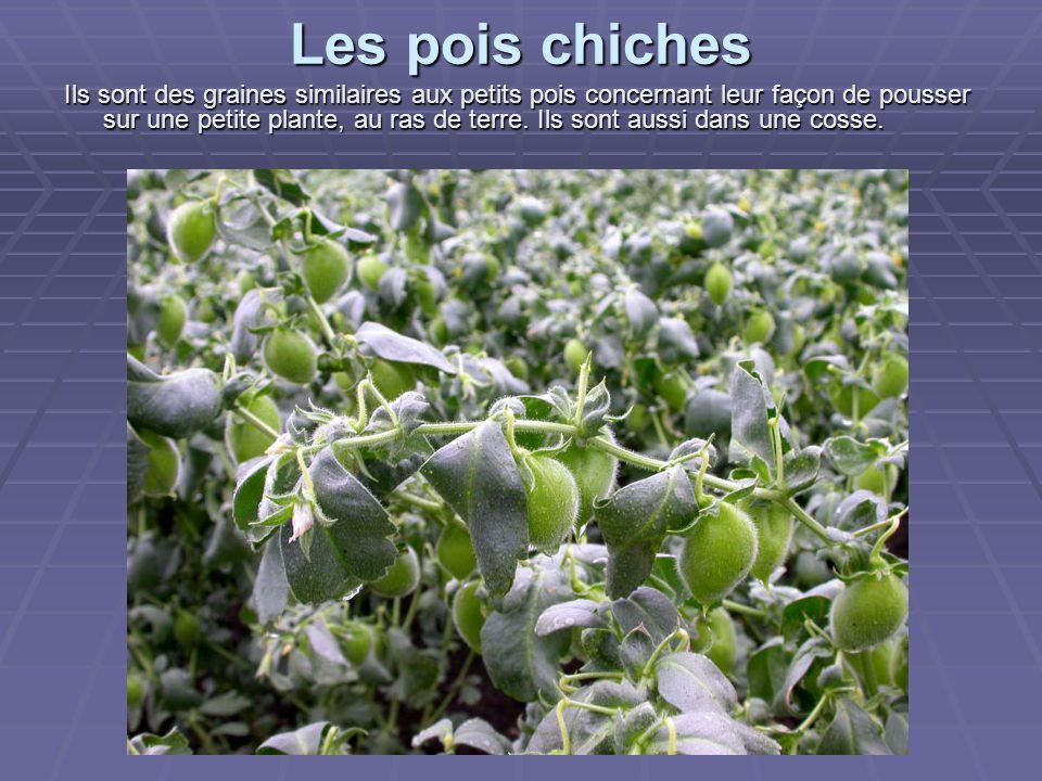 Les pois chiches Ils sont des graines similaires aux petits pois concernant leur façon de pousser sur une petite plante, au ras de terre.