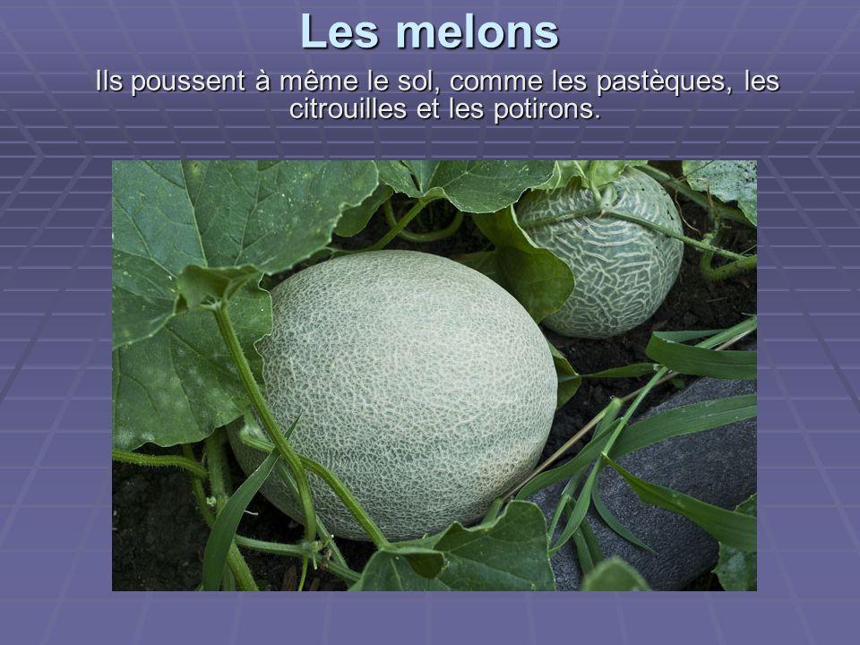 Les melons Ils poussent à même le sol, comme les pastèques, les citrouilles et les potirons.