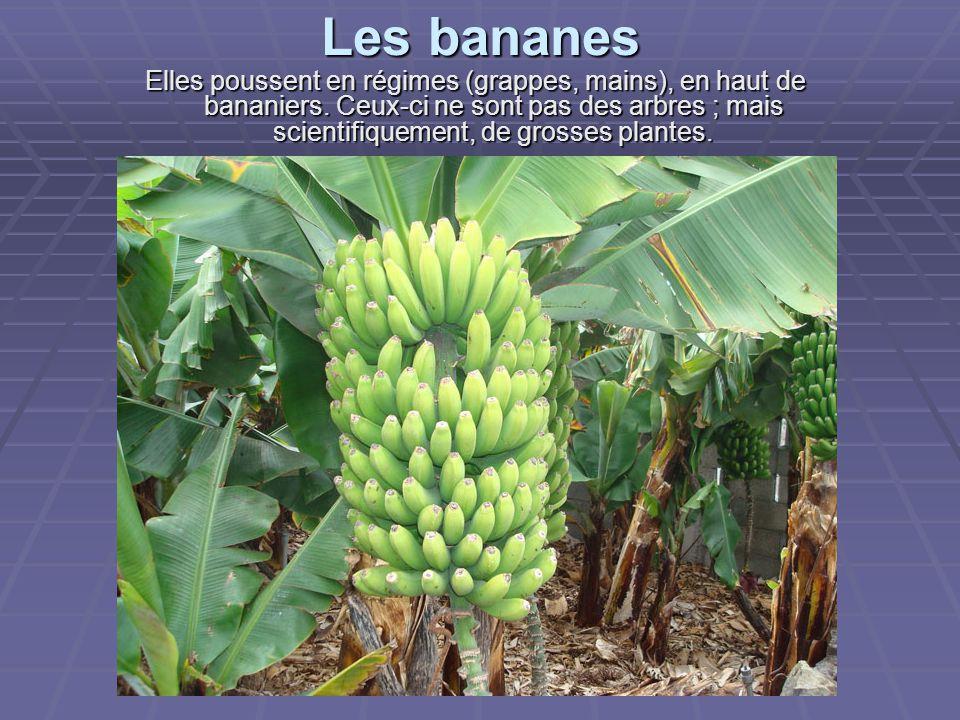 Les bananes Elles poussent en régimes (grappes, mains), en haut de bananiers.