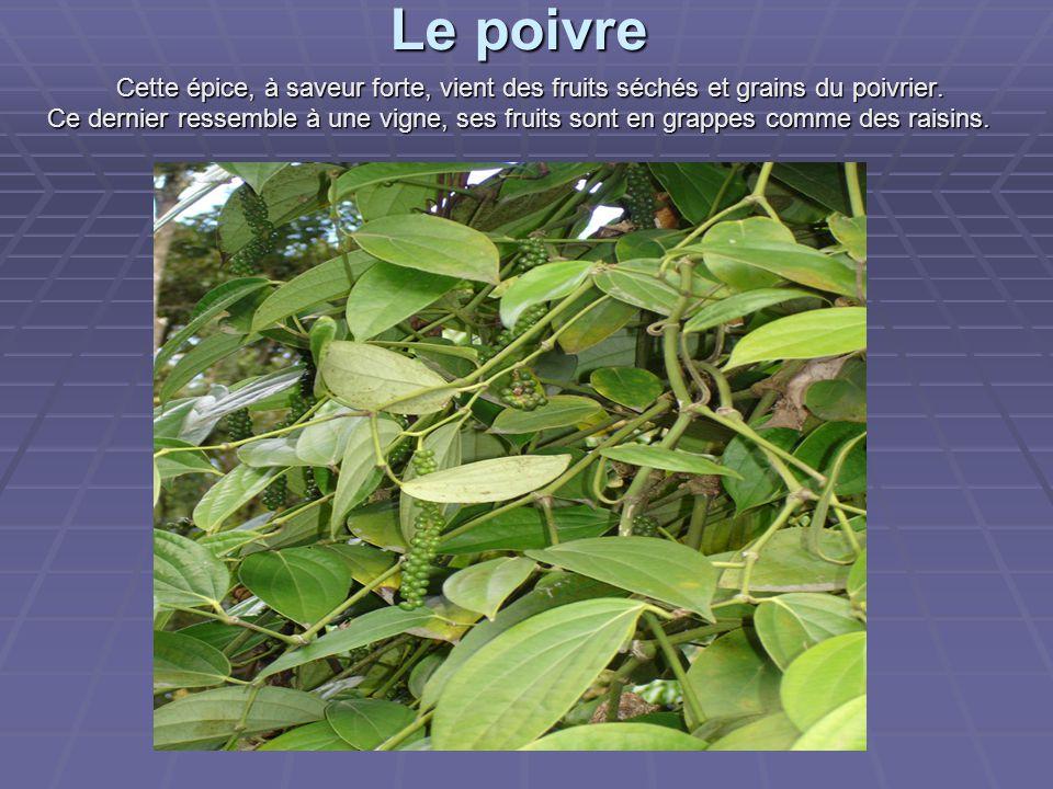 Le poivre Cette épice, à saveur forte, vient des fruits séchés et grains du poivrier.