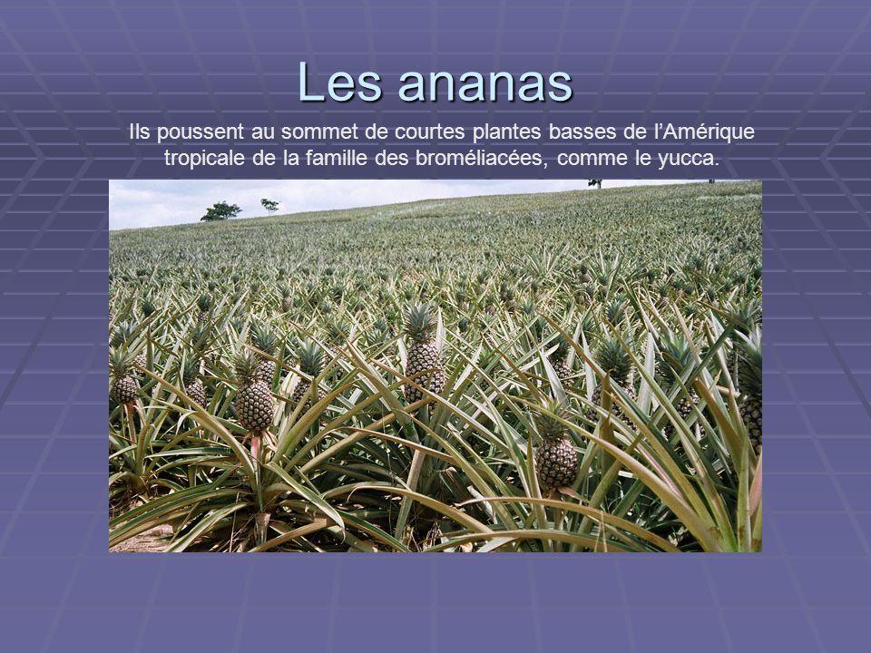 Les ananas Ils poussent au sommet de courtes plantes basses de l'Amérique tropicale de la famille des broméliacées, comme le yucca.