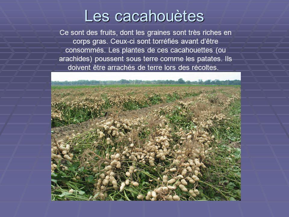 Les cacahouètes Ce sont des fruits, dont les graines sont très riches en corps gras.