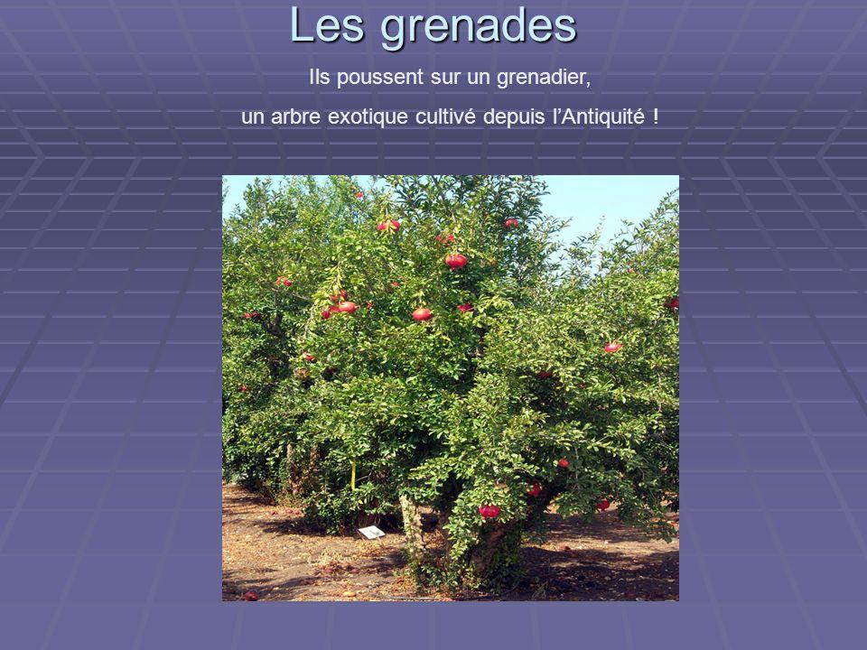 Les grenades Ils poussent sur un grenadier, un arbre exotique cultivé depuis l'Antiquité !
