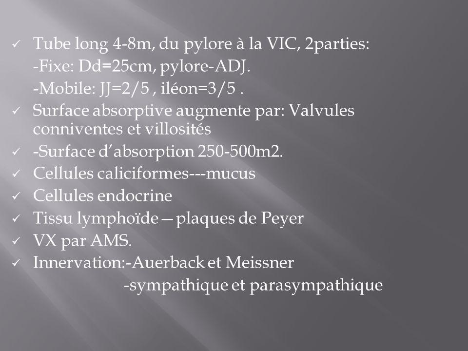 Tube long 4-8m, du pylore à la VIC, 2parties: -Fixe: Dd=25cm, pylore-ADJ. -Mobile: JJ=2/5, iléon=3/5. Surface absorptive augmente par: Valvules conniv