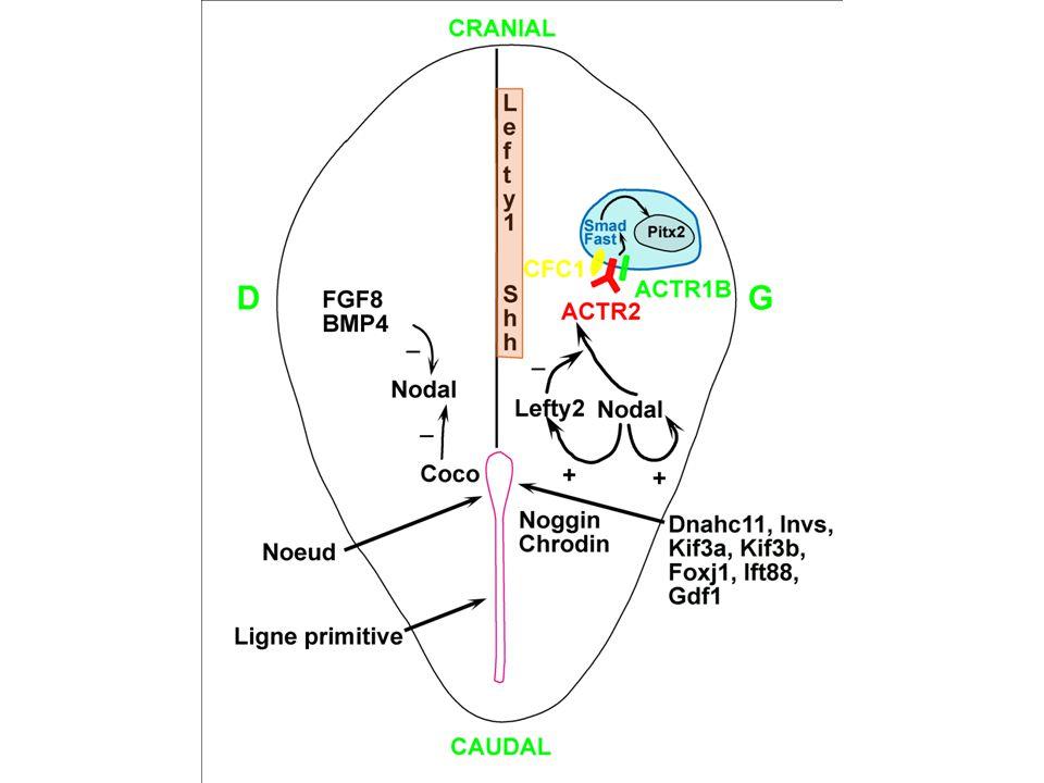 Nœud embryonnaire CIL RESPIRATOIRECIL EMBRYONNAIRECIL IMMOBILE