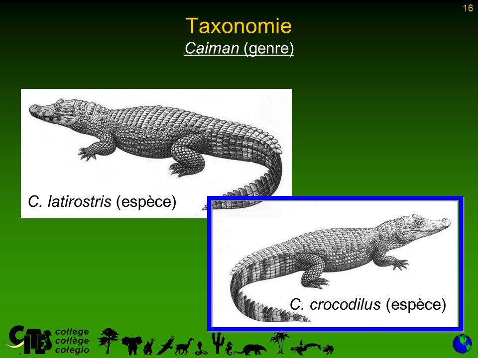 16 Taxonomie Caiman (genre) C. crocodilus (espèce) C. latirostris (espèce)