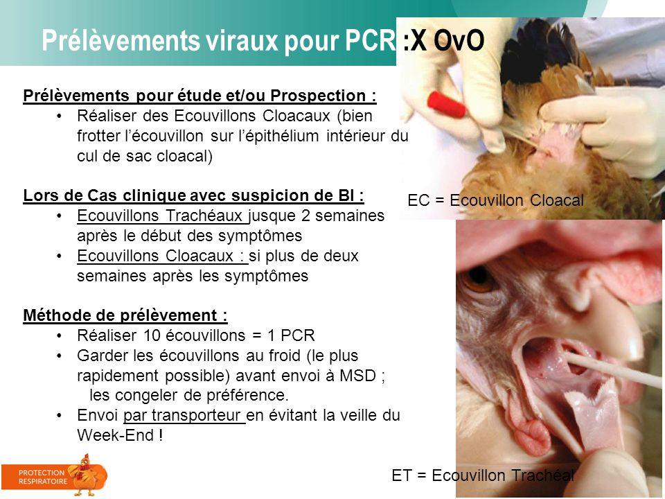 Prélèvements viraux pour PCR :X OvO Prélèvements pour étude et/ou Prospection : Réaliser des Ecouvillons Cloacaux (bien frotter l'écouvillon sur l'épi
