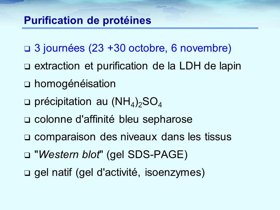 Purification de protéines  3 journées (23 +30 octobre, 6 novembre)  extraction et purification de la LDH de lapin  homogénéisation  précipitation au (NH 4 ) 2 SO 4  colonne d affinité bleu sepharose  comparaison des niveaux dans les tissus  Western blot (gel SDS-PAGE)  gel natif (gel d activité, isoenzymes)