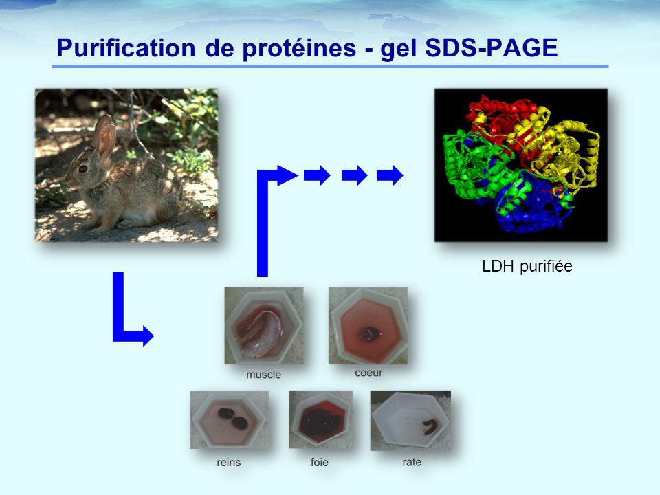 Purification de protéines - gel SDS-PAGE LDH purifiée