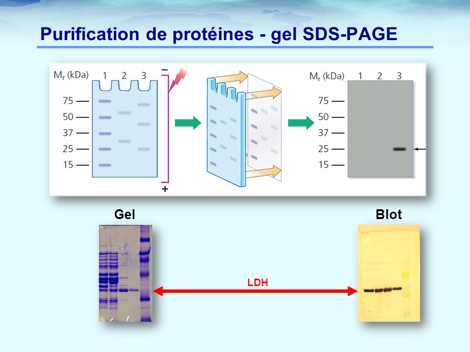 Purification de protéines - gel SDS-PAGE Gel Blot LDH