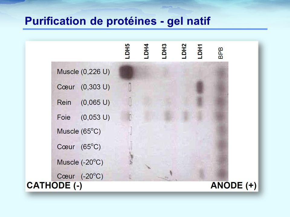 Purification de protéines - gel natif