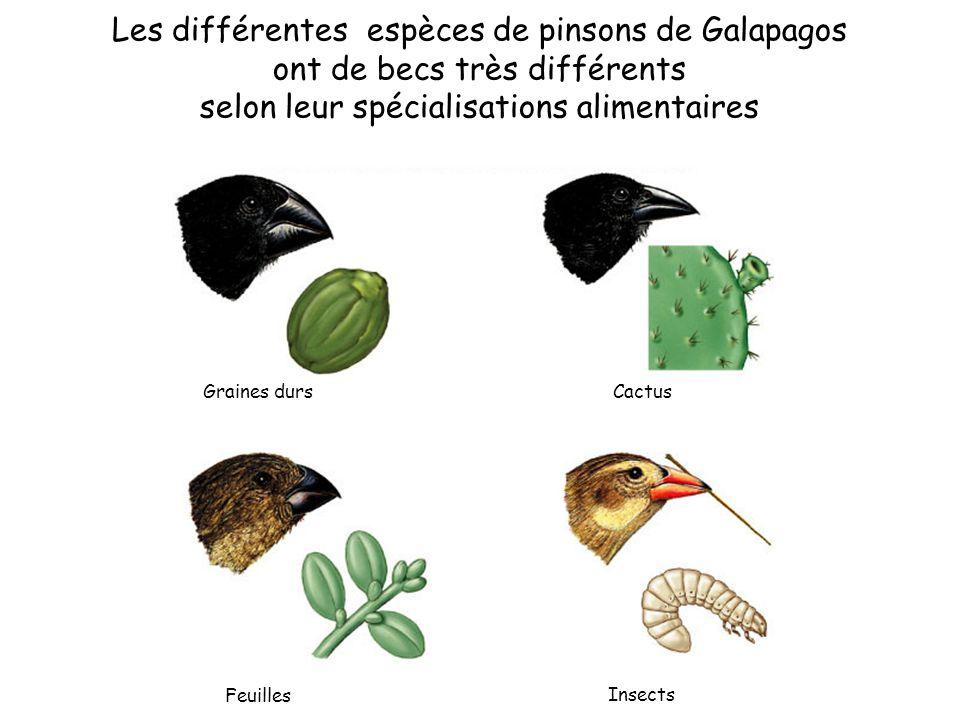 Feuilles Insects Graines dursCactus Les différentes espèces de pinsons de Galapagos ont de becs très différents selon leur spécialisations alimentaires
