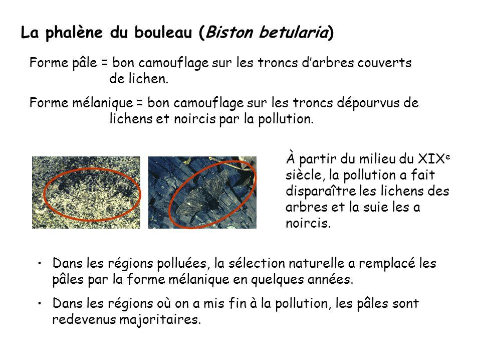 La phalène du bouleau (Biston betularia) Forme pâle = bon camouflage sur les troncs d'arbres couverts de lichen.