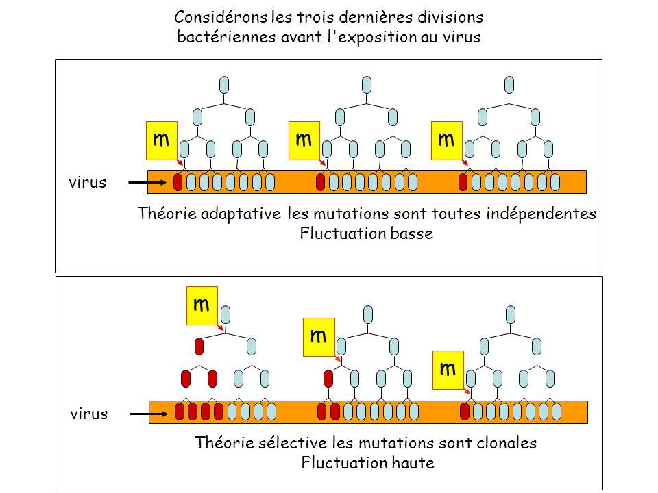 m m m Théorie sélective les mutations sont clonales Fluctuation haute virus Considérons les trois dernières divisions bactériennes avant l exposition au virus