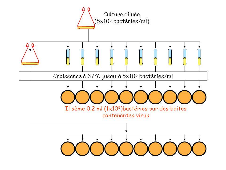 Culture diluée (5x10 3 bactéries/ml) Croissance à 37°C jusqu à 5x10 8 bactéries/ml Il sème 0.2 ml (1x10 8 )bactéries sur des boites contenantes virus