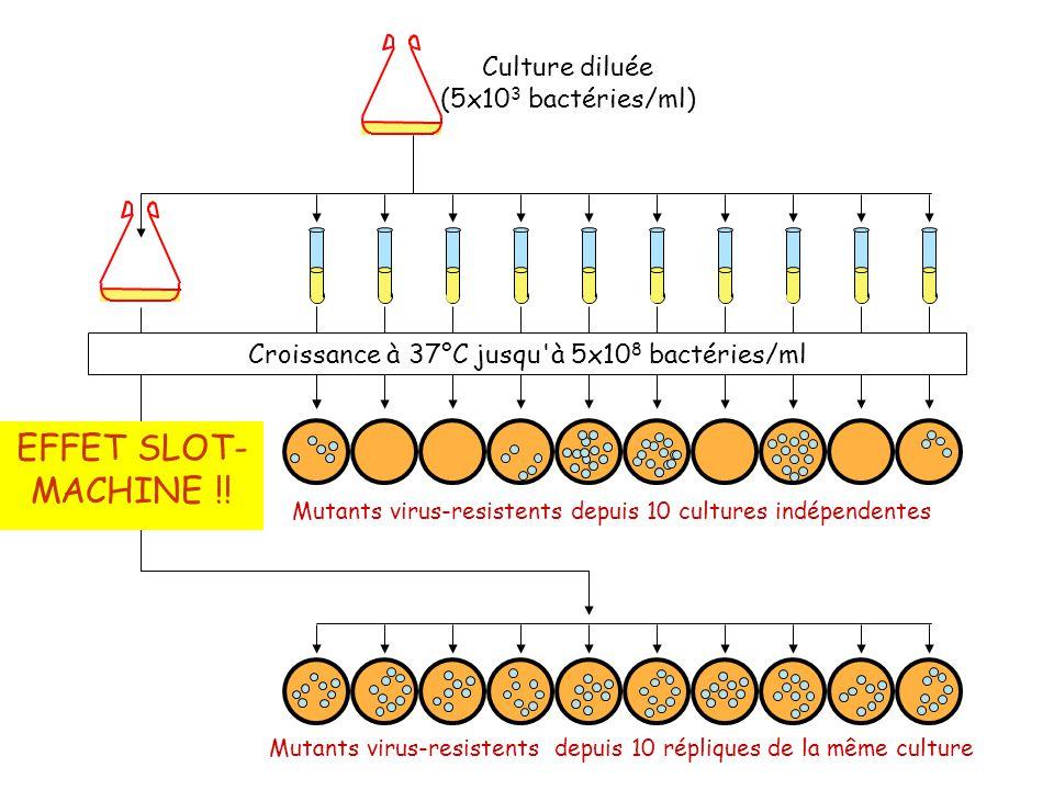Culture diluée (5x10 3 bactéries/ml) Croissance à 37°C jusqu à 5x10 8 bactéries/ml Mutants virus-resistents depuis 10 cultures indépendentes Mutants virus-resistents depuis 10 répliques de la même culture EFFET SLOT- MACHINE !!