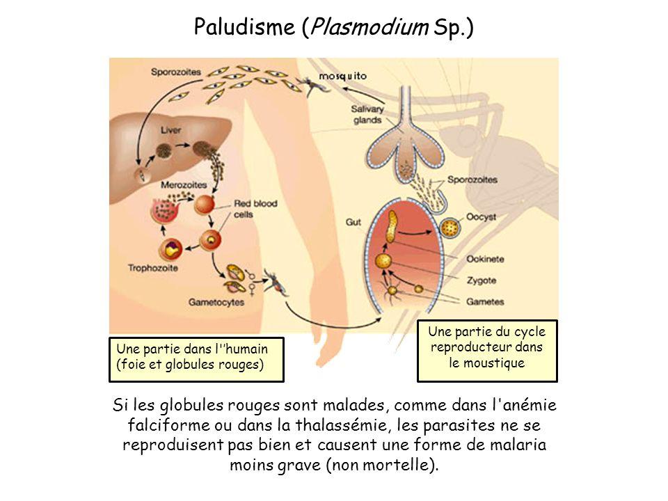 Une partie dans l 'humain (foie et globules rouges) Une partie du cycle reproducteur dans le moustique Si les globules rouges sont malades, comme dans l anémie falciforme ou dans la thalassémie, les parasites ne se reproduisent pas bien et causent une forme de malaria moins grave (non mortelle).