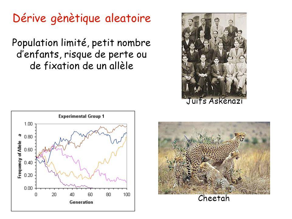 Cheetah Juifs Askenazi Dérive gènètique aleatoire Population limité, petit nombre d'enfants, risque de perte ou de fixation de un allèle