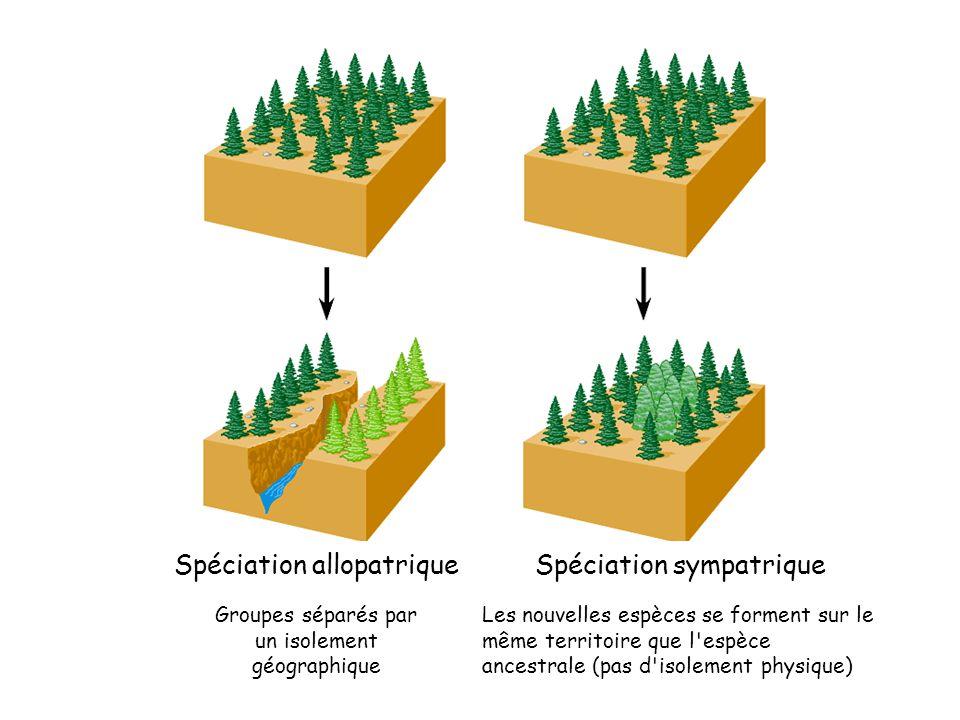 Spéciation allopatrique Groupes séparés par un isolement géographique Spéciation sympatrique Les nouvelles espèces se forment sur le même territoire que l espèce ancestrale (pas d isolement physique)