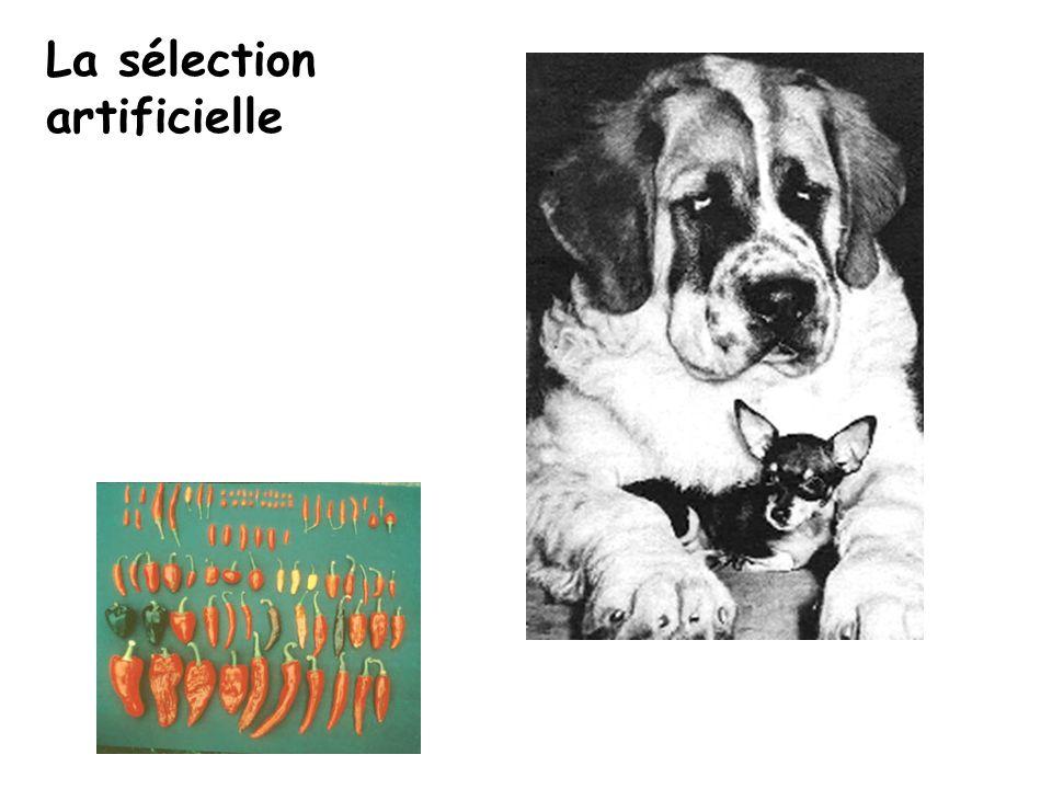La sélection artificielle