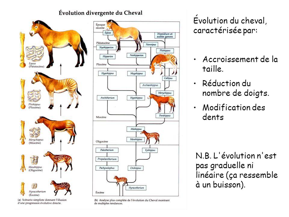 Évolution du cheval, caractérisée par: Accroissement de la taille.