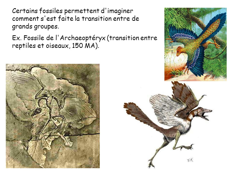 Certains fossiles permettent d'imaginer comment s'est faite la transition entre de grands groupes. Ex. Fossile de l'Archaeoptéryx (transition entre re