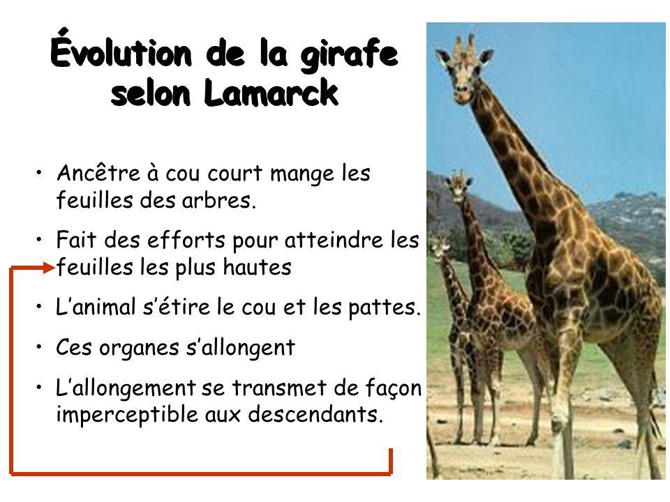 Évolution de la girafe selon Lamarck Ancêtre à cou court mange les feuilles des arbres.