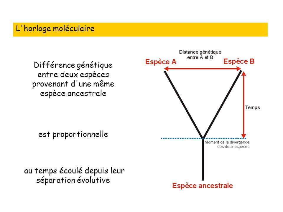 L horloge moléculaire Différence génétique entre deux espèces provenant d une même espèce ancestrale au temps écoulé depuis leur séparation évolutive est proportionnelle