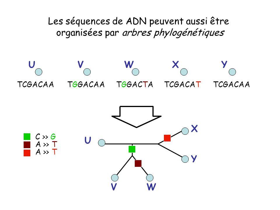 TGGACAATGGACTATCGACATTCGACAA UVWXY U VW X Y Les séquences de ADN peuvent aussi être organisées par arbres phylogénétiques C >> G A >> T