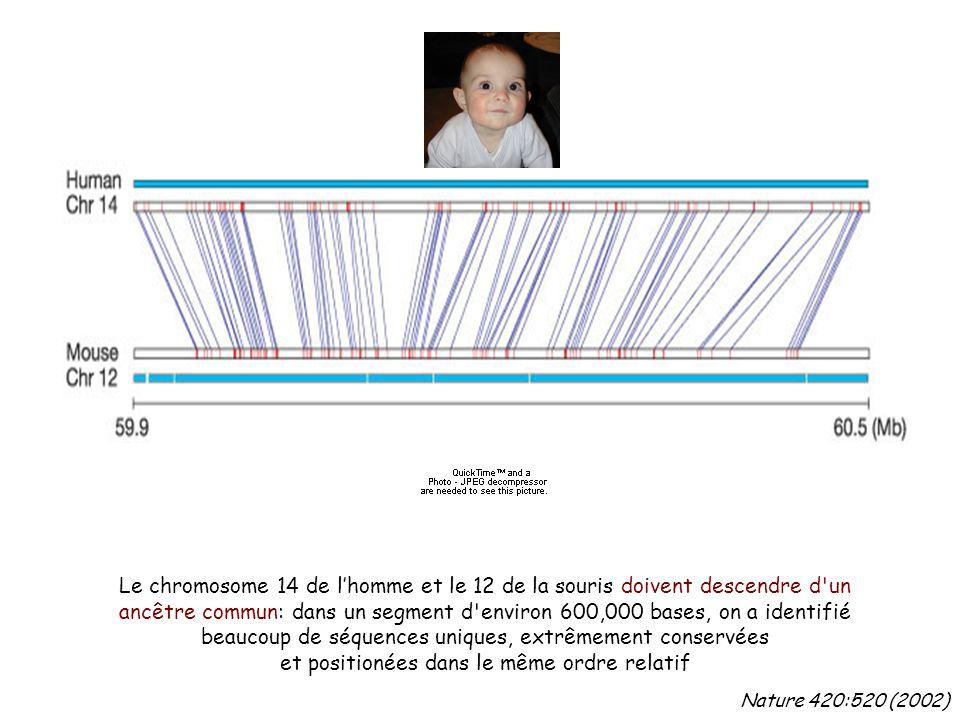 Nature 420:520 (2002) Le chromosome 14 de l'homme et le 12 de la souris doivent descendre d un ancêtre commun: dans un segment d environ 600,000 bases, on a identifié beaucoup de séquences uniques, extrêmement conservées et positionées dans le même ordre relatif