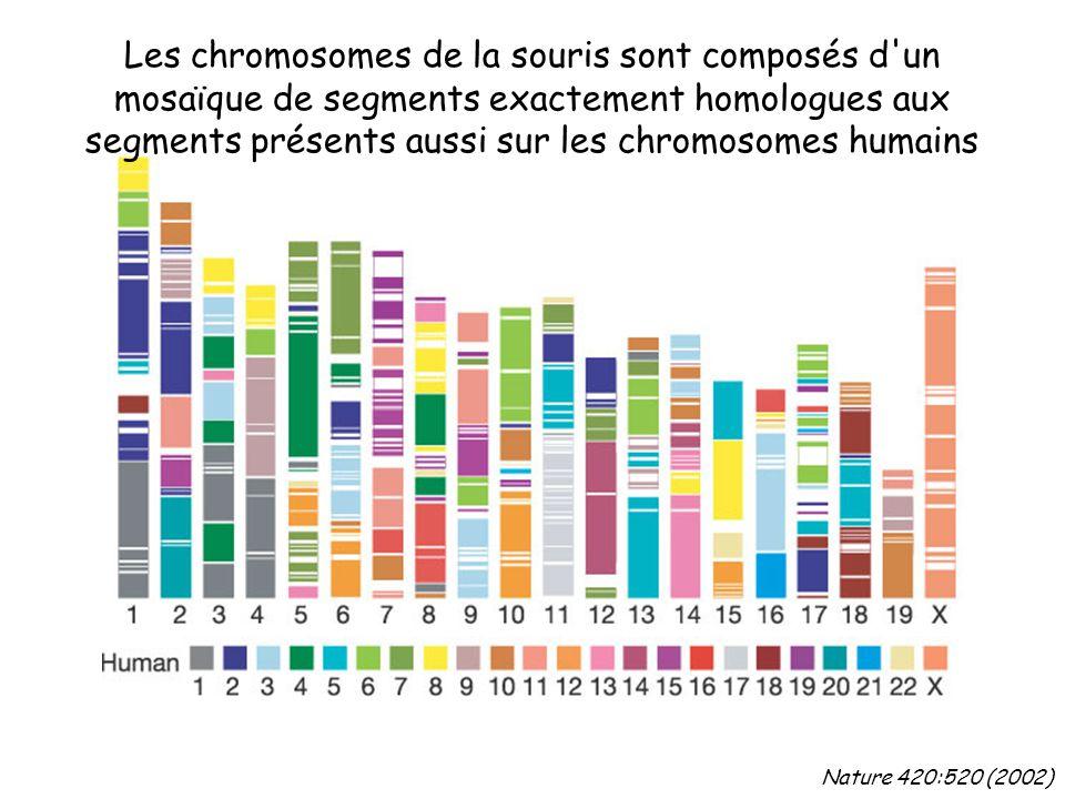 Nature 420:520 (2002) Les chromosomes de la souris sont composés d un mosaïque de segments exactement homologues aux segments présents aussi sur les chromosomes humains