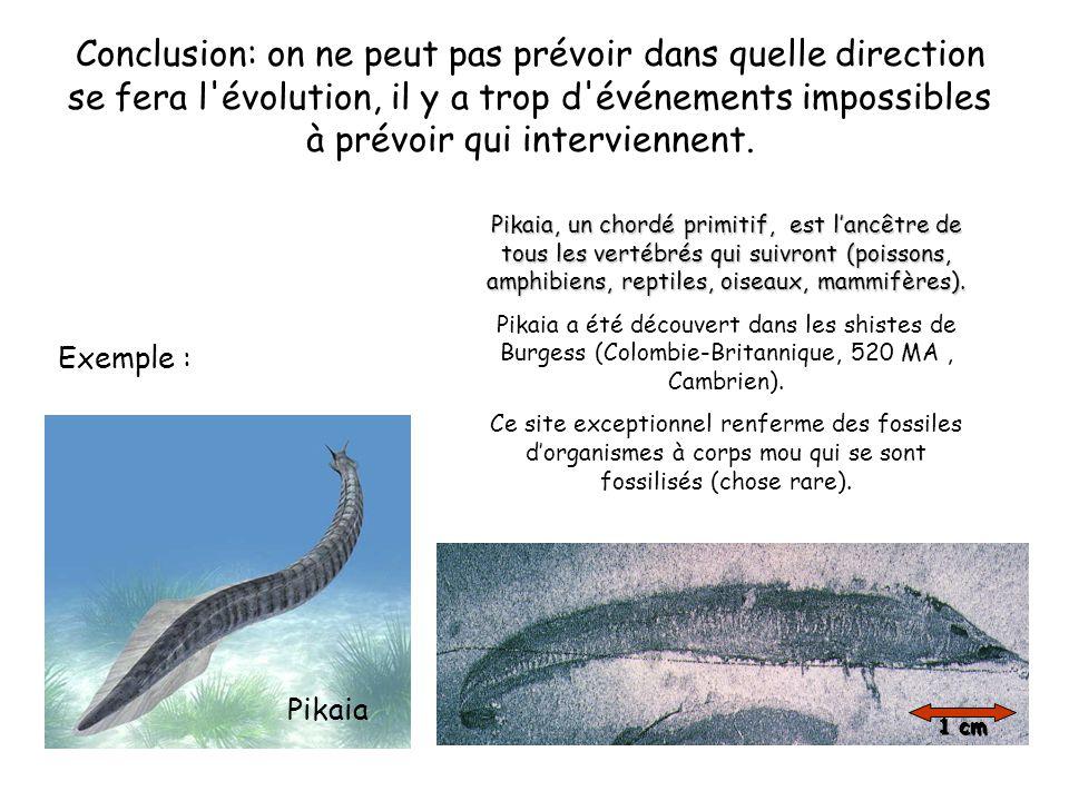 Exemple : Pikaia Pikaia, un chordé primitif, est l'ancêtre de tous les vertébrés qui suivront (poissons, amphibiens, reptiles, oiseaux, mammifères).