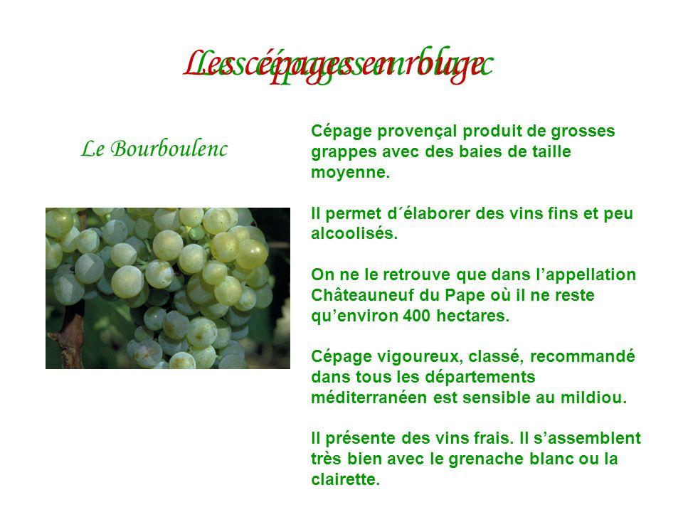 Les cépages en blanc Le Bourboulenc Cépage provençal produit de grosses grappes avec des baies de taille moyenne. Il permet d´élaborer des vins fins e