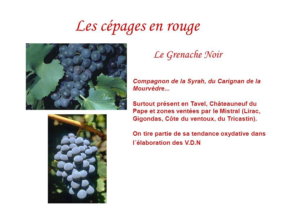 Le Grenache Noir Compagnon de la Syrah, du Carignan de la Mourvèdre... Surtout présent en Tavel, Châteauneuf du Pape et zones ventées par le Mistral (