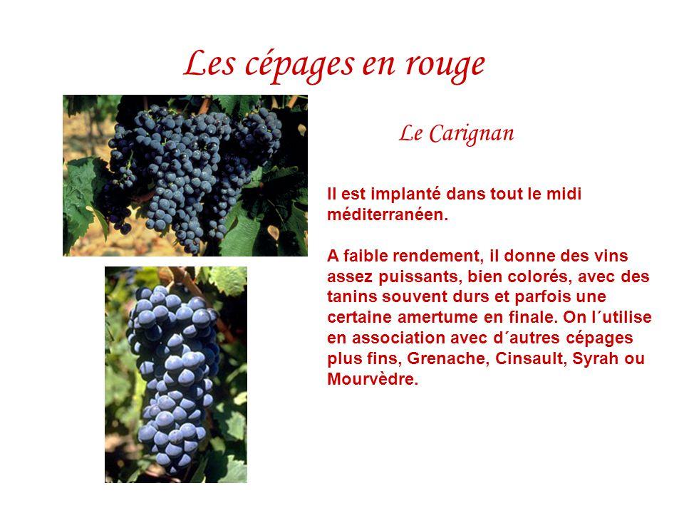Le Carignan Il est implanté dans tout le midi méditerranéen. A faible rendement, il donne des vins assez puissants, bien colorés, avec des tanins souv
