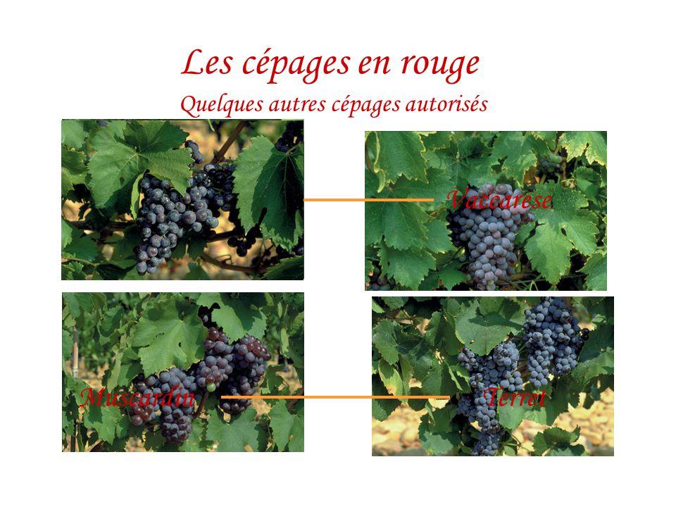 Quelques autres cépages autorisés Les cépages en rouge Counoise Muscardin Picpoul Terret Vaccarese