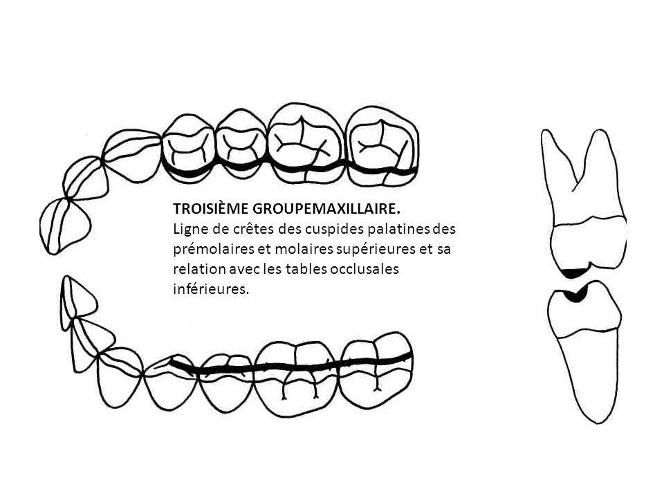 TROISIÈME GROUPEMAXILLAIRE. Ligne de crêtes des cuspides palatines des prémolaires et molaires supérieures et sa relation avec les tables occlusales i