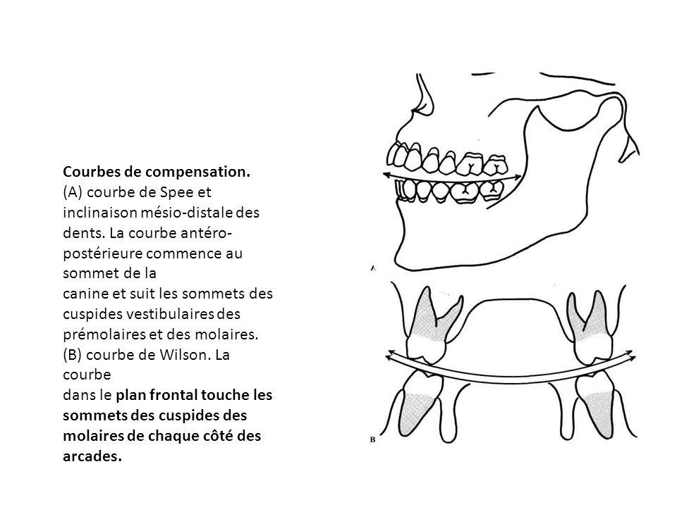 Courbes de compensation. (A) courbe de Spee et inclinaison mésio-distale des dents. La courbe antéro- postérieure commence au sommet de la canine et s