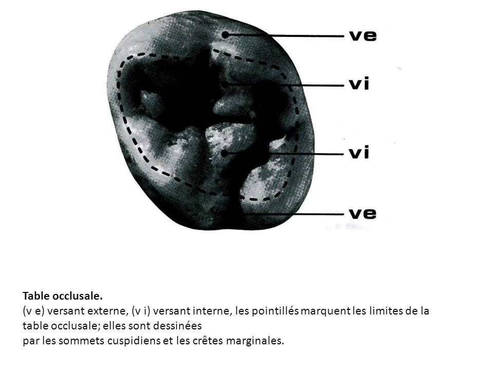 Table occlusale. (v e) versant externe, (v i) versant interne, les pointillés marquent les limites de la table occlusale; elles sont dessinées par les