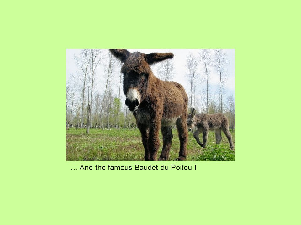 … And the famous Baudet du Poitou !