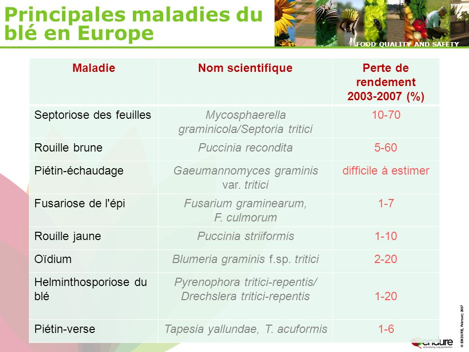 © ENDURE, February 2007 FOOD QUALITY AND SAFETY © ENDURE, February 2007 FOOD QUALITY AND SAFETY Principales maladies du blé en Europe MaladieNom scientifiquePerte de rendement 2003-2007 (%) Septoriose des feuillesMycosphaerella graminicola/Septoria tritici 10-70 Rouille brunePuccinia recondita5-60 Piétin-échaudageGaeumannomyces graminis var.