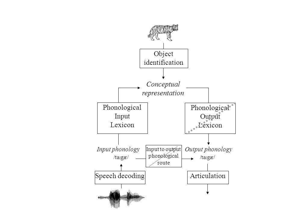 Input phonology /ta I g r/ Speech decoding Output phonology /ta I g r/ Input to output phonological route Conceptual representation Phonological Input Lexicon Object identification Phonological Output Lexicon Articulation