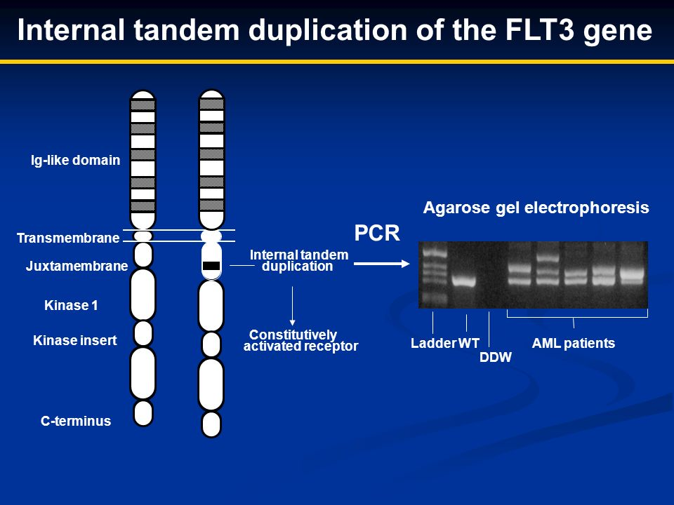 Constitutively activated receptor Internal tandem duplication of the FLT3 gene Agarose gel electrophoresis Ladder WT AML patients DDW PCR Transmembrane Ig-like domain Kinase insert Kinase 1 Kinase 2 C-terminus Juxtamembrane Internal tandem duplication WT Mutant