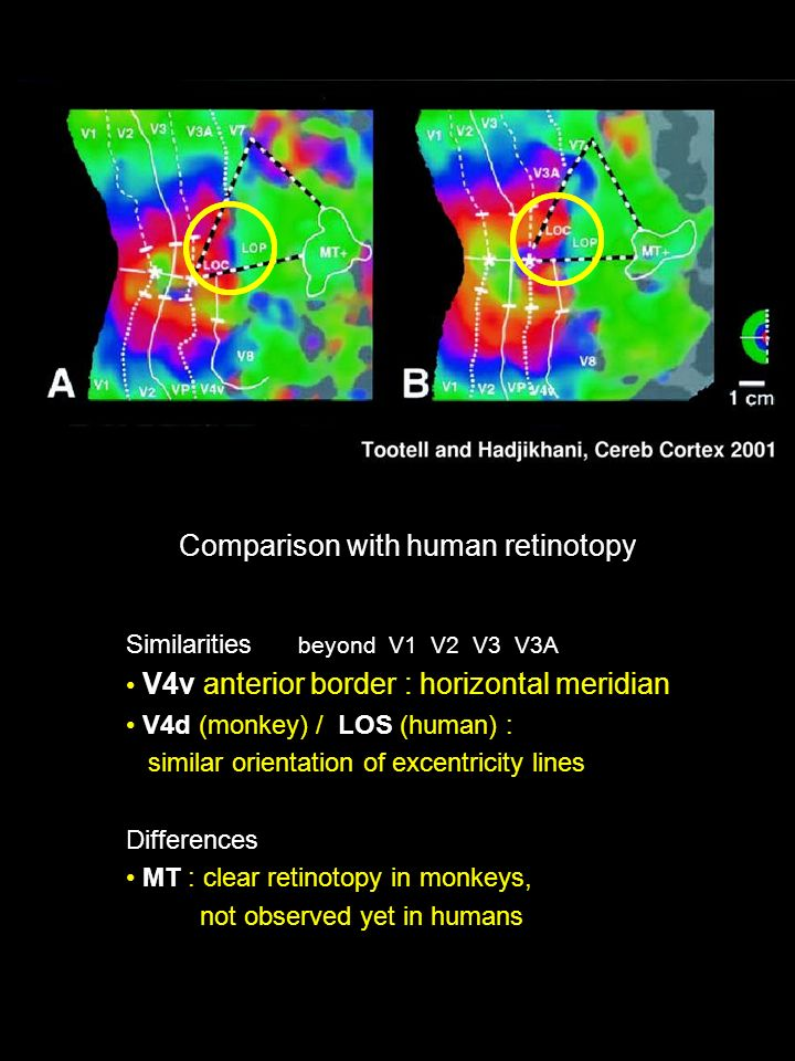 Similarities beyond V1 V2 V3 V3A V4v anterior border : horizontal meridian V4d (monkey) / LOS (human) : similar orientation of excentricity lines Differences MT : clear retinotopy in monkeys, not observed yet in humans Comparison with human retinotopy