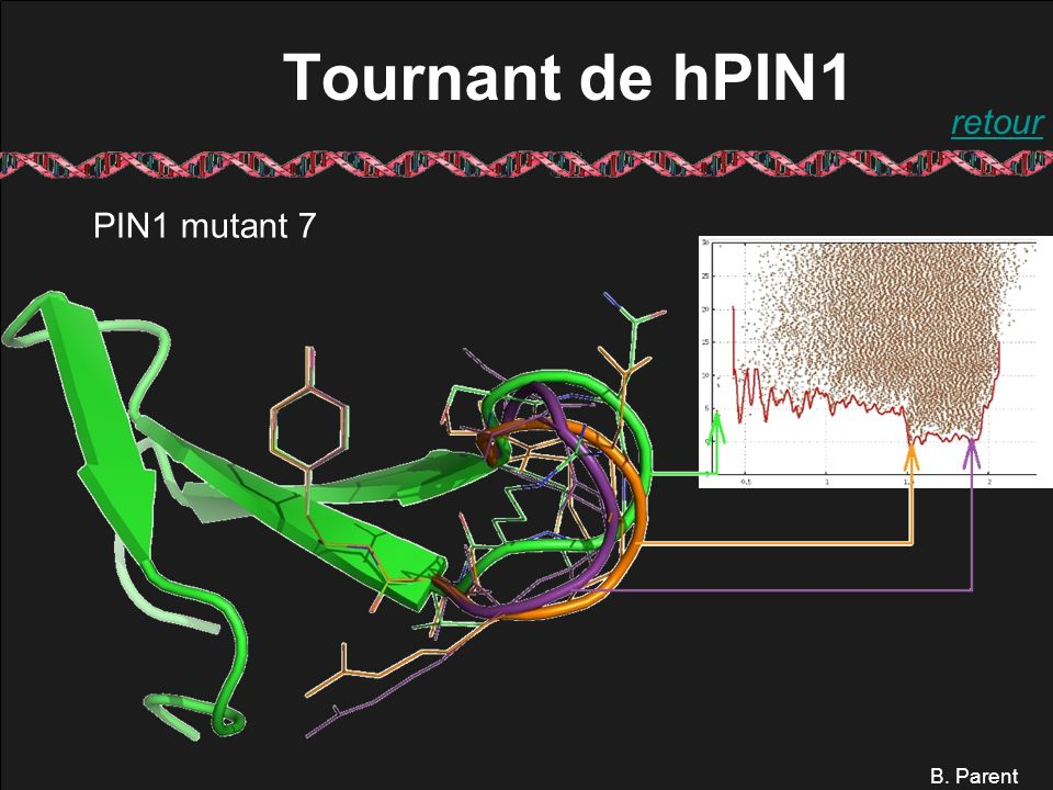 B. Parent Tournant de hPIN1 PIN1 mutant 7 retour