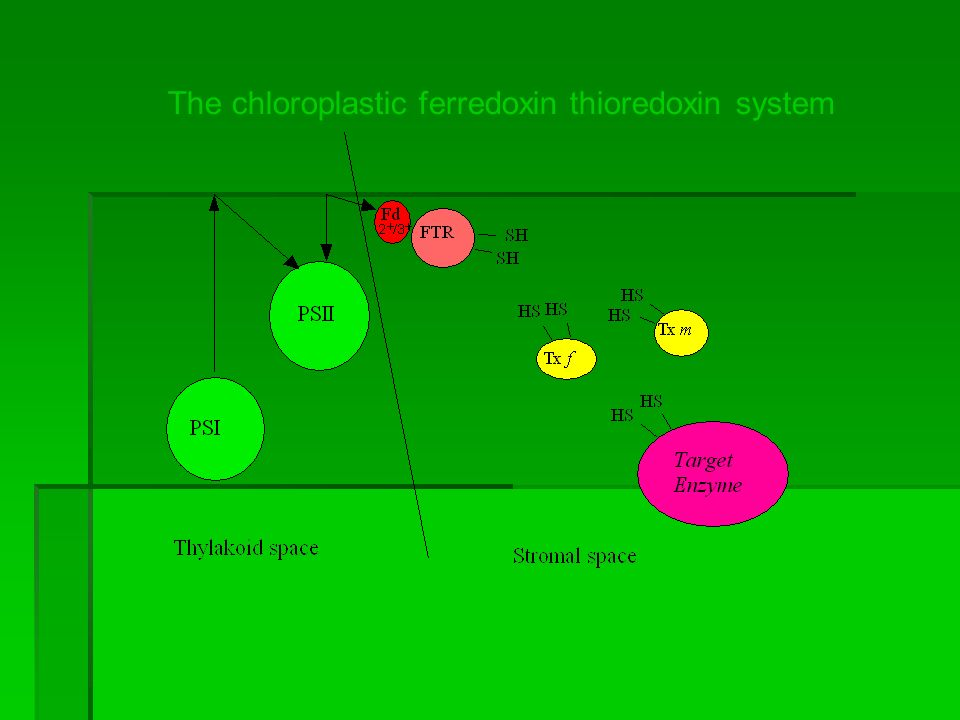 The chloroplastic ferredoxin thioredoxin system