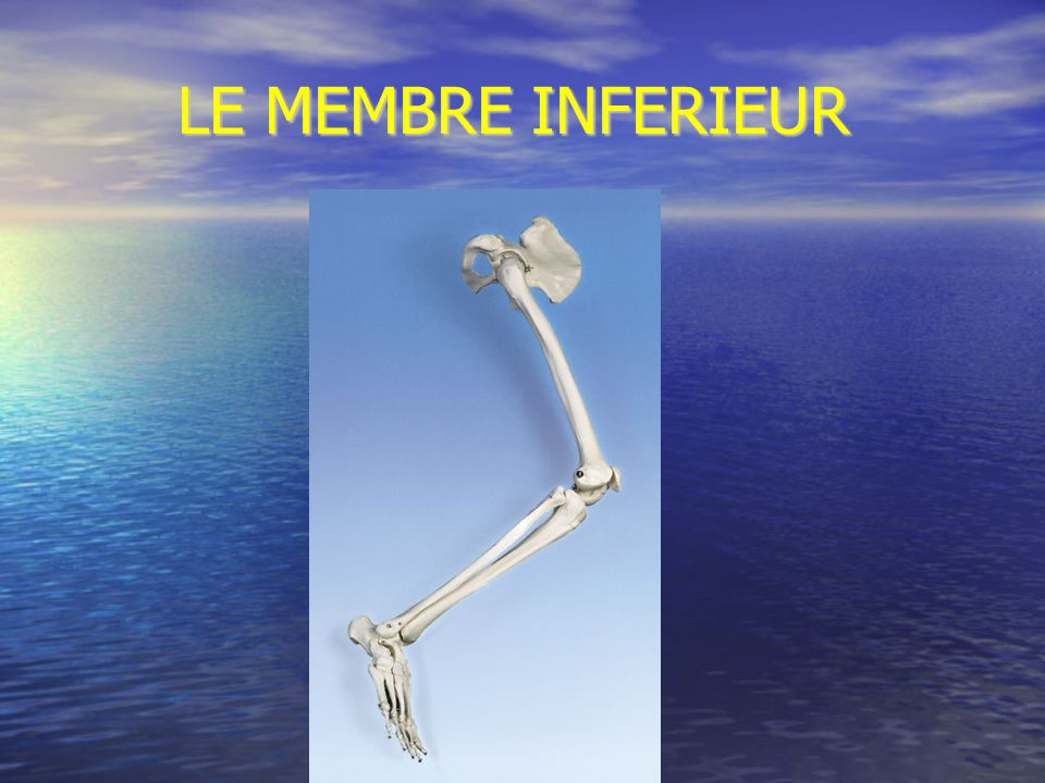 LE MEMBRE INFERIEUR